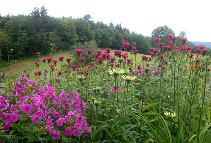 A Massing of Common Bee Balm and Phlox