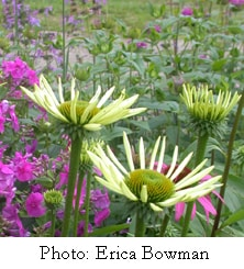 echinacea vuds small copy