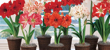 Julie moir messervy design studio the jmmds holiday gift guide amaryllis bulbs from white flower farm val speaking of gift certificates mightylinksfo Images