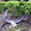 Specimen Trees: A Visit to Shin-Boku Nursery