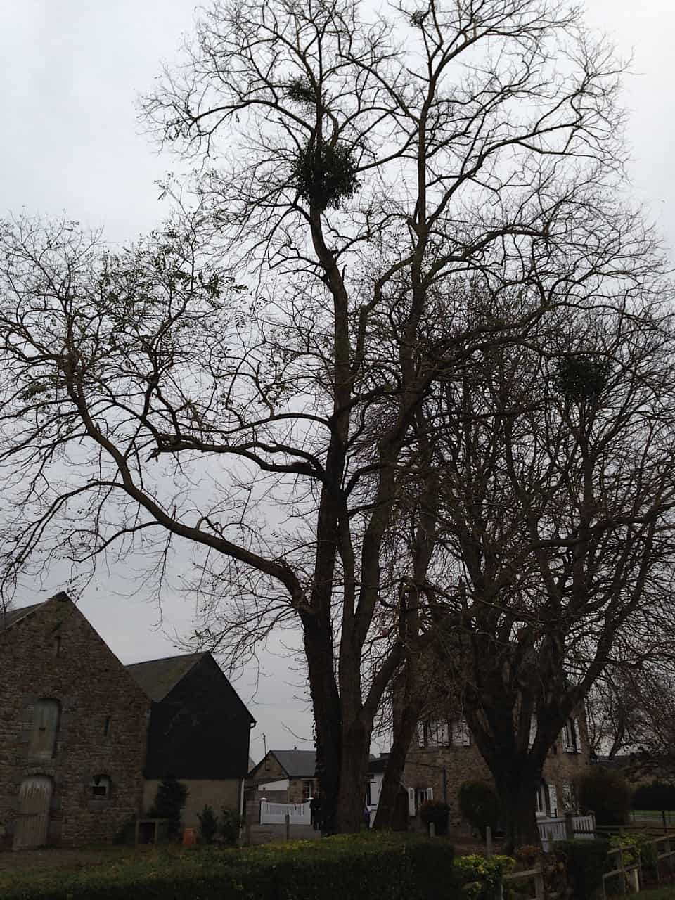 Mistletoe in trees, France.