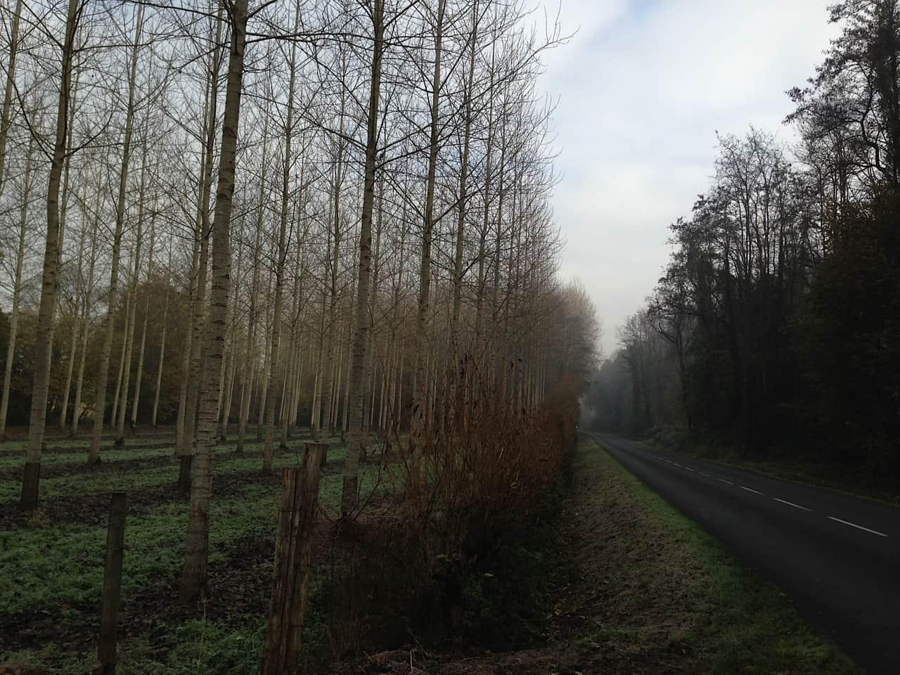 Poplar trees, France