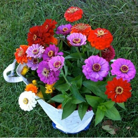 zinnias from Jana's community garden