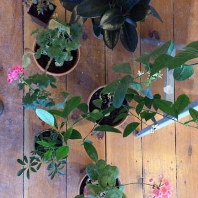 Potted houseplants, including pelargoniums, parasol plant, and rubber plant.
