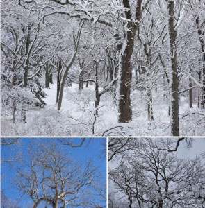 Oaks after a snowfall at Arnold Arboretum. Image: Ned Friedman, Posts from the Collections.