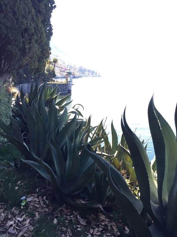 Giant blue agave alongside Lake Como