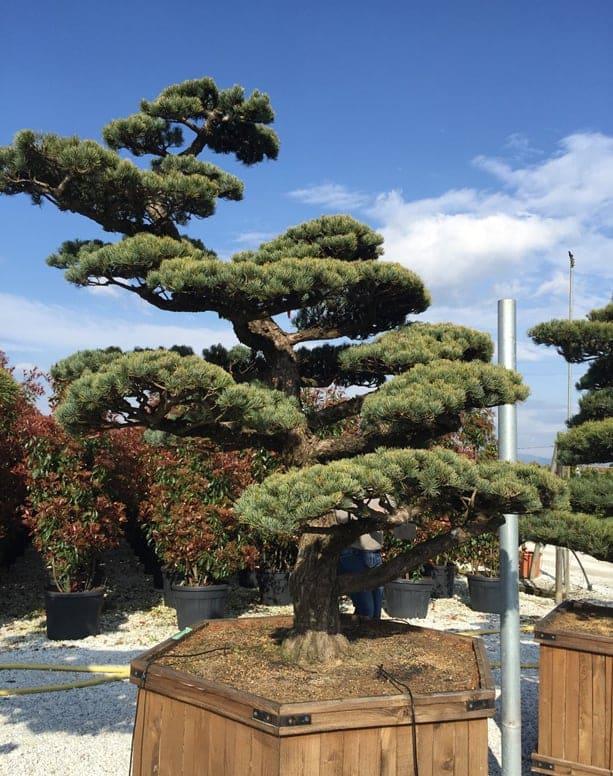 Cloud-pruned pine tree.